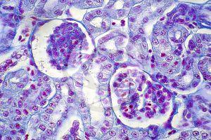 Rana. Frog. Kidney. Transverse section. 500X