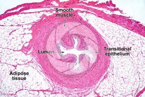Man. Ureter. Transverse section. 64X