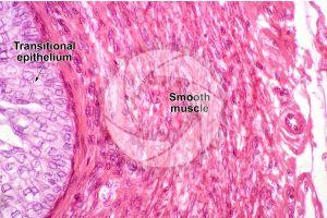 Man. Ureter. Transverse section. 500X