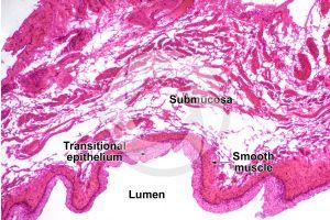 Man. Urinary bladder. Transverse section. 64X