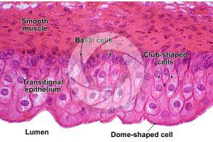 Man. Urinary bladder. Transverse section. 500X