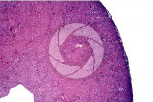 Mammal. Kidney. Transverse section. 32X