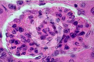 Mammal. Kidney. Transverse section. 1000X