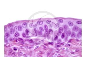 Mammal. Empty urinary bladder. Transverse section. 400X