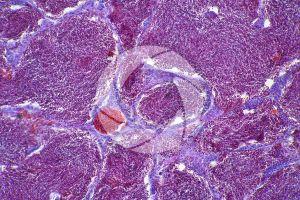 Cyprinus. Testicle. Transverse section. 250X