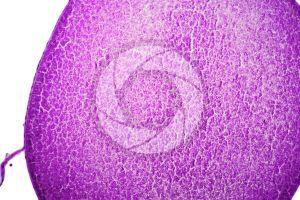 Rana. Frog. Mature ovary. Transverse section. 125X