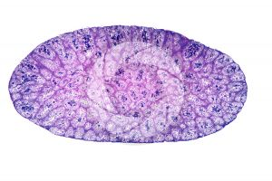 Rana. Frog. Testicle. Transverse section. 32X