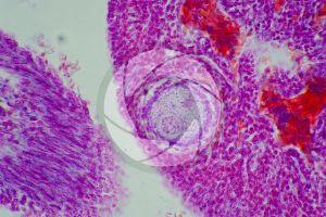 Gallus gallus domesticus. Chicken. Ovary. Transverse section. 500X