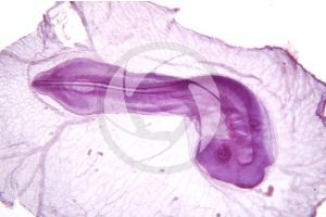Gallus gallus domesticus. Chicken. Embryo. 32X