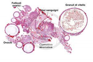 Gallus gallus domesticus. Pollo. Ovario. Sezione trasversale. 10X