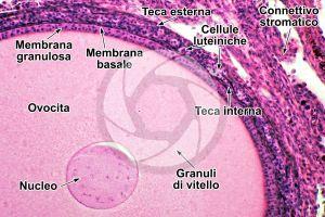 Gallus gallus domesticus. Pollo. Ovario. Sezione trasversale. 250X