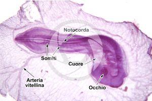 Gallus gallus domesticus. Pollo. Embrione. 32X