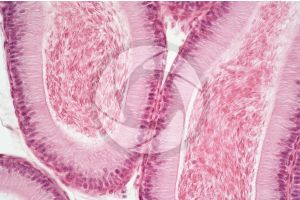 Cavia. Guinea pig. Testicle. Epididymis. Transverse section. 250X