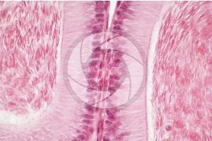 Cavia. Guinea pig. Testicle. Epididymis. Transverse section. 500X