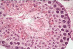 Cavia. Guinea pig. Testicle. Seminiferous tubule. Transverse section. 250X