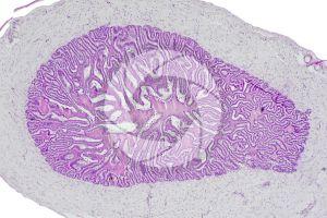 Cavia. Guinea pig. Testicle. Seminal vesicle. Transverse section. 64X