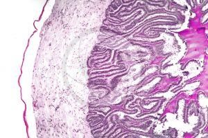 Cavia. Guinea pig. Testicle. Seminal vesicle. Transverse section. 125X