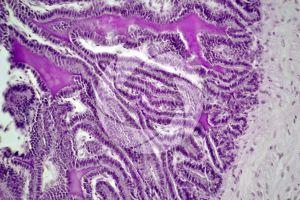 Cavia. Guinea pig. Testicle. Seminal vesicle. Transverse section. 250X