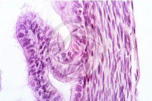 Rabbit. Ovary. Transverse section. 1000X