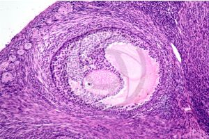 Rabbit. Ovary. Transverse section. 125X