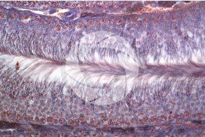 Rabbit. Testicle. Transverse section. 125X