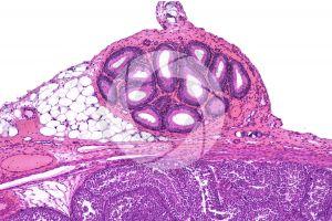 Rabbit. Testicle. Epididymis. Transverse section. 64X