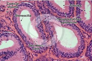 Rabbit. Testicle. Epididymis. Transverse section. 250X