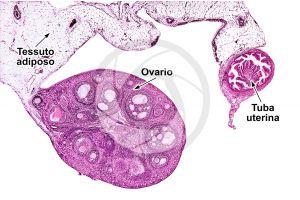 Coniglio. Ovario. Sezione trasversale. 10X