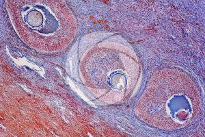 Cat. Ovary. Transverse section. 125X