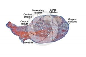 Cat. Ovary. Transverse section. 10X