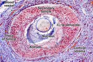 Cat. Ovary. Transverse section. 250X