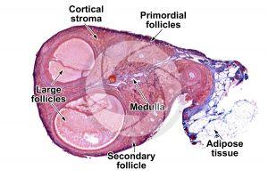 Rat. Ovary. Transverse section. 10X