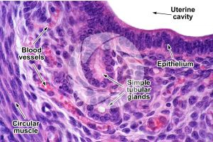 Rat. Uterus. Transverse section. 250X