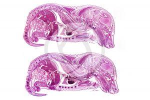 Talpa. European mole. Embryo. 5X