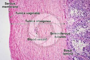 Man. Testicle. Transverse section. 125X