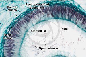 Man. Testicle. Epididymis. Transverse section. 250X