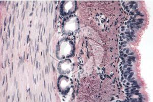 Mammal. Uterine tube. Transverse section. 250X