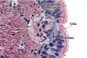 Mammal. Uterine tube. Transverse section. 500X