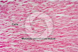 Mammal. Umbilical cord. Transverse section. 500X
