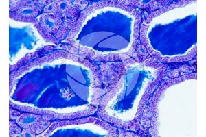 Rabbit. Thyroid. Transverse section. 500X
