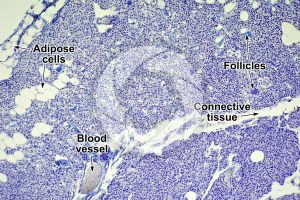 Rabbit. Parathyroid. Transverse section. 100X