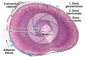 Cat. Adrenal gland. Transverse section. 10X