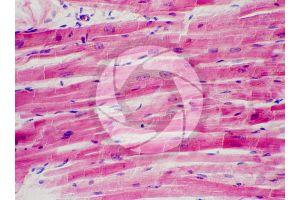 Mammal. Cardiac muscle. Longitudinal section. 250X