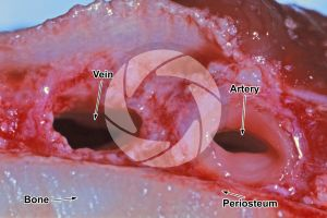 Mammal. Artery and vein. Transverse section