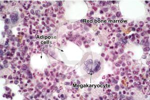 Mammal. Bone marrow. 500X