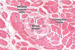 Mammal. Cardiac muscle. Transverse section. 250X