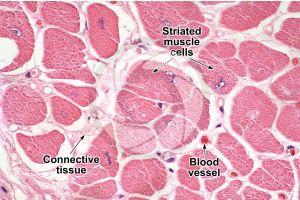 Mammal. Cardiac muscle. Transverse section. 500X
