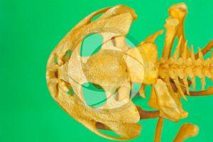 Rana. Frog. Skull. Dorsal view