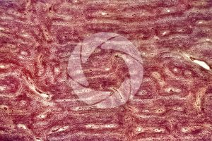 Mammal. Compact osseous tissue. Transverse section. 64X