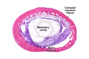Mammal. Compact osseous tissue. Transverse section. 32X